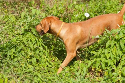 loppe angreb på hunde