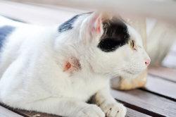 Loppebid kat sår
